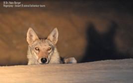 זאב בספארי לילה