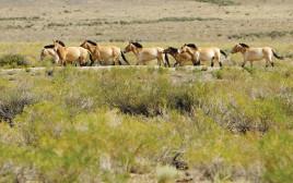 סוסי בר מסוג פז'בלסקי