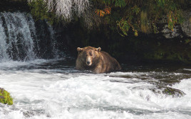הדוב השמן ביותר באלסקה