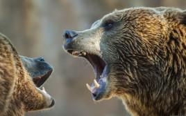 דובים, אילוסטרציה