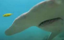 היתקלות עם כריש פטיש בקרקעית הים