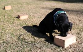 הכלבים מתאמנים כדי לזהות את הנגיף