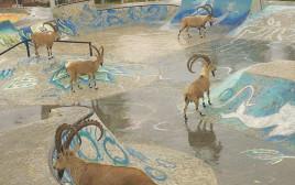 יעלים השתלטו על הסקייט-פארק במצפה רמון