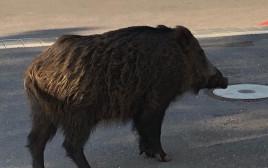 חזיר הבר שתקף את גבי דויטש