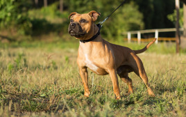 כלב מסוג סטפורדשייר בול טרייר, אילוסטרציה