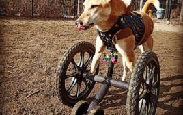 כלבה על גלגלים