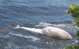 פגר הלוויתן שנסחף לחוף