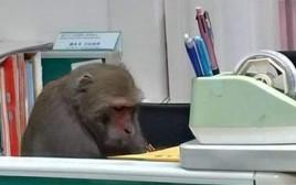 הקוף השקדן