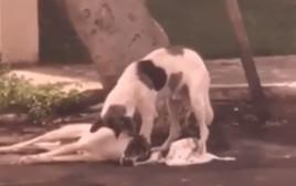 הכלב המרגש מלווה את חברתו הטובה שנפצעה