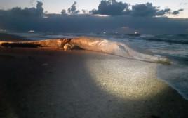 לוויתן שנפלט אל החוף