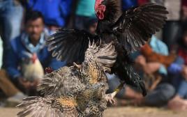 קרב תרנגולים, אילוסטרציה