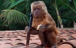 הקוף עם הסכין