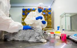 ארנב מקבל חיסון לקורונה