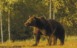 ארתור הדוב החום