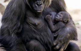 גורילה ובנה, אילוסטרציה