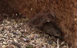 עכברים באוסטרליה, אילוסטרציה