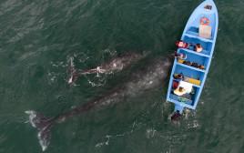 לוויתנים וסירת דיג, אילוסטרציה
