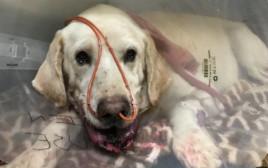 הכלב מארלי אחרי שהוכש בידי נחש