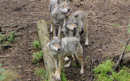 להקת זאבים, אילוסטרציה