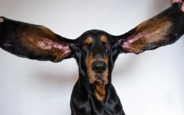 """כל אחת מהאוזניים של לואו באורך 34 ס""""מ"""