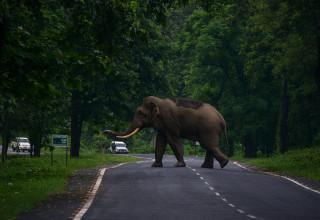 פיל חוצה את הכביש, אילוסטרציה
