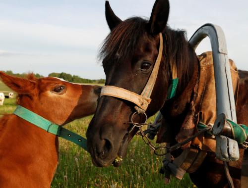 סוסה והסייח שלה בחווה בבלארוס