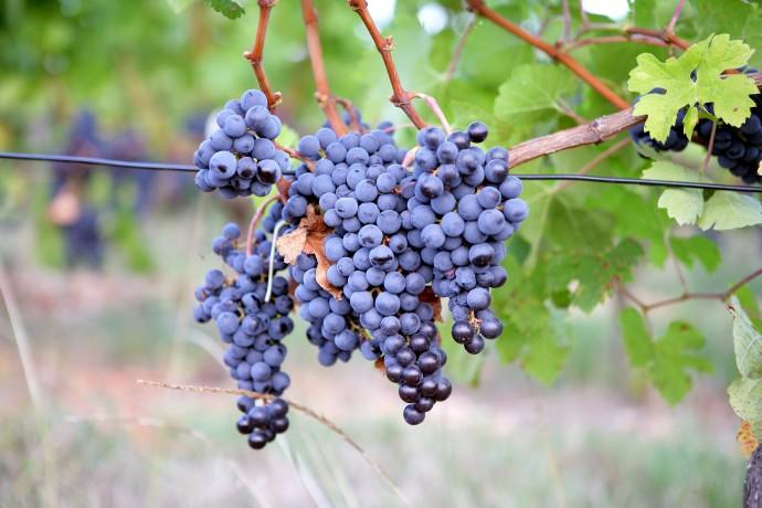 גדול מסכום חלקיו: יין מאשכולות שלמים