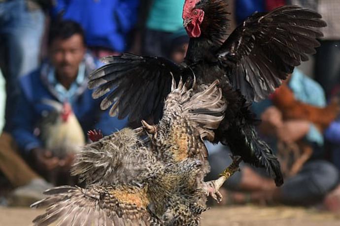 טרגדיה הזויה: בן 45 הותקף בידי תרנגול חמוש בסכין - ומת