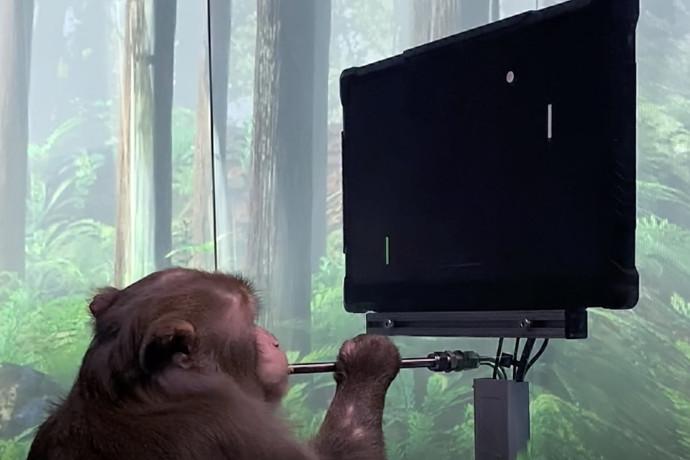 בזכות שבב שהושתל במוחו: קוף שיחק באמצעות מחשבה בלבד