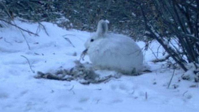 ארנבים קניבלים