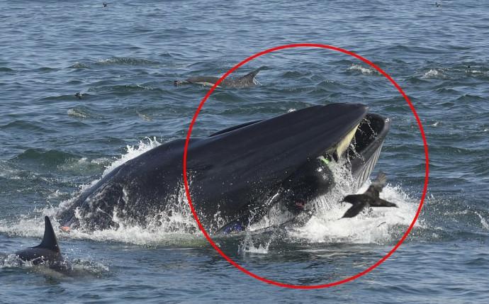 צוללן נטרף על ידי לוויתן