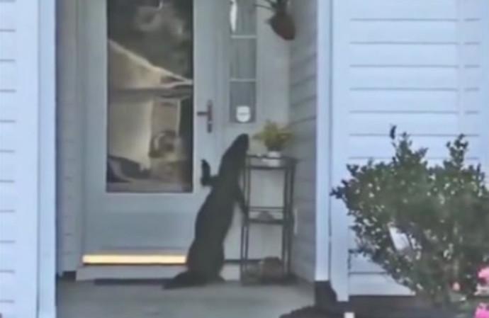 תנין מנסה להיכנס לבית של סבתא