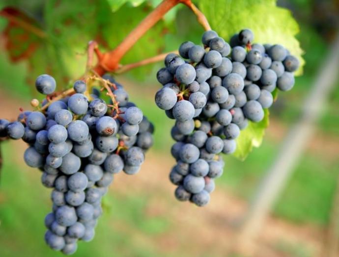 טוסקנה, פסטיבל היין