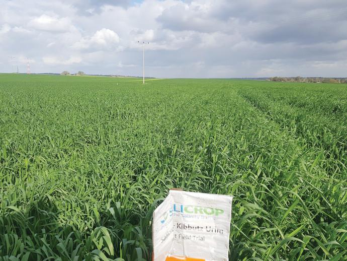שדה בו נזרעו זרעי סאליקרופ