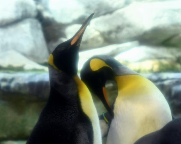 זוג פינגווינים