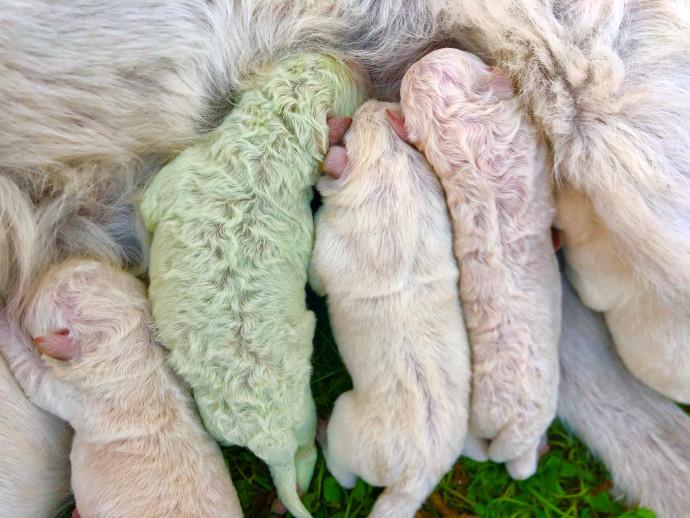 הגורים שנולדו באיטליה