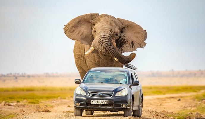 הפילה רודפת אחרי הרכב בקניה