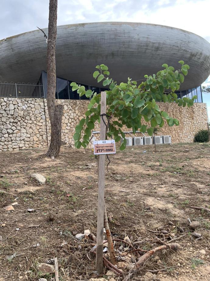"""העץ לזכר נחמה ריבלין ז""""ל בנוף הגליל"""