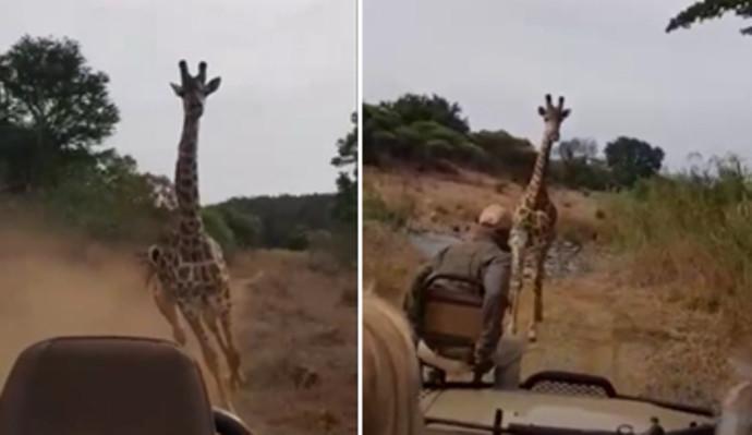 ג'ירפה רדפה אחרי חבורת תיירים בקניה