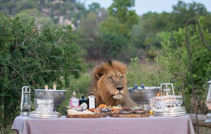 האריה שהצטרף אל מסיבת היום הולדת