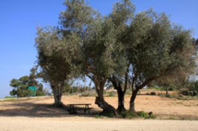 עצי זית בחניון יהודה