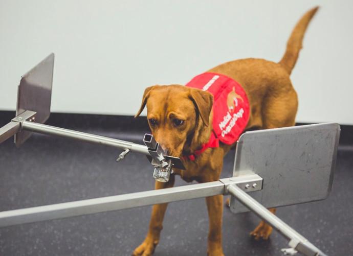 כלבה מאתרת את סרטן הערמונית מבדיקת השתן החיובית