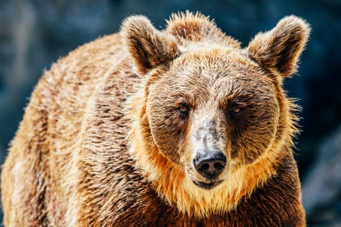 דוב חום, אילוסטרציה