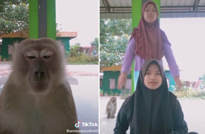 הקוף שכבש את הטיקטוק
