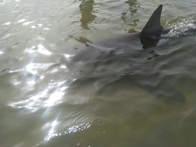 כריש במרחק נגיעה בחוף בחדרה