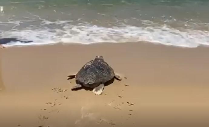 """צבת הים """"להב"""" שבה אל הטבע"""