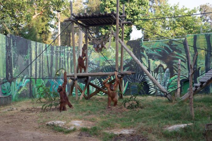 חצר האורנגאוטנים בספארי ברמת גן