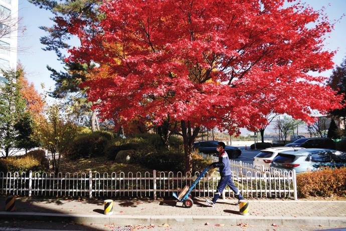 עץ מייפל ברחובות דרום קוריאה