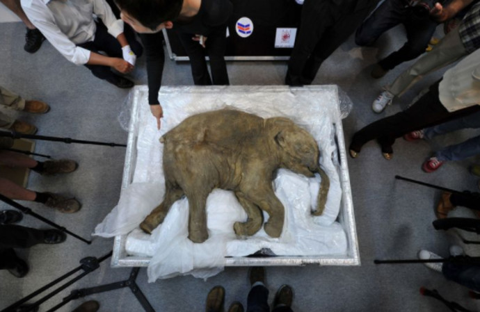 החוקרים עובדים על פיתוח עוברי פיל-ממותה