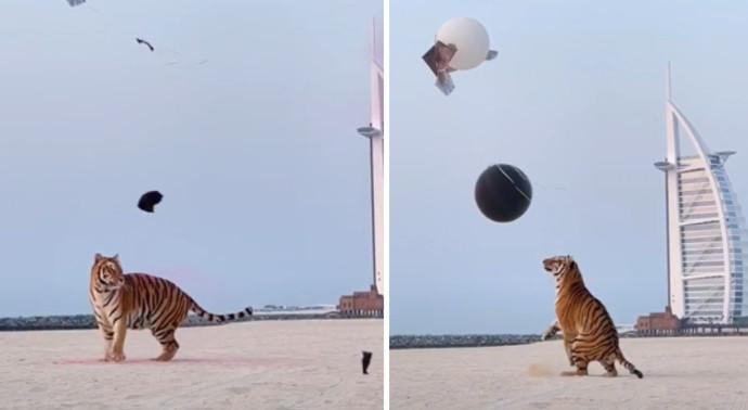 הנמר חושף את מין הילוד